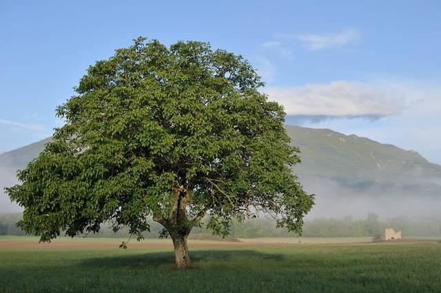 noyer_arbre_a_640