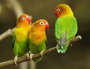 oiseaux-du-jardin-hiver-inseparables
